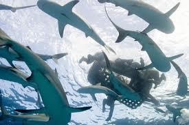 scubarticulos tiburones