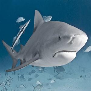 4-descubre-tiburon-toro-riviera-maya-mexico