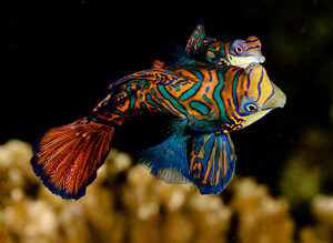 zona de inmersion pez mandarin
