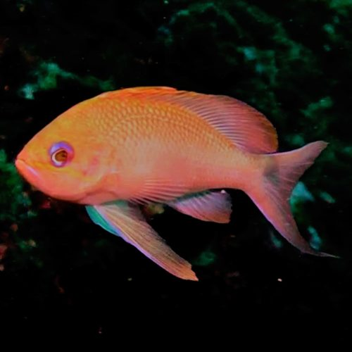 ANTHIAS DMFGH